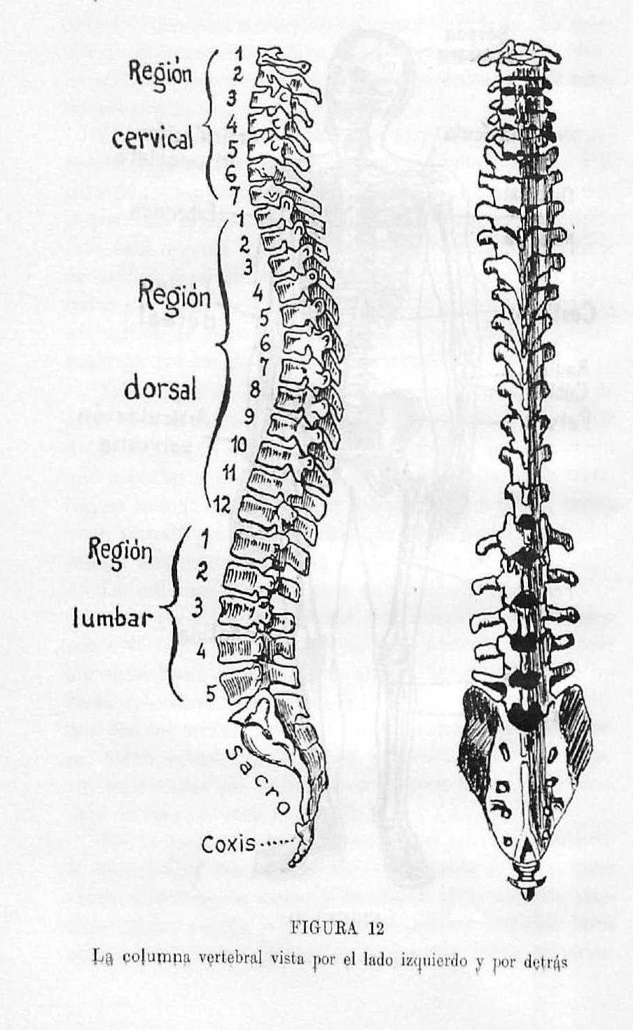 la columna vertebral vista por el lado izquierdo y por detr u00e1s